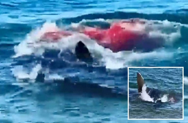Great white shark turns sea RED in bloody seal attack just yards from terrified beachgoers in US