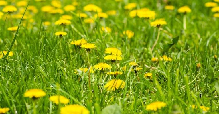 Fact check: Viral meme on benefits of dandelions is partly false