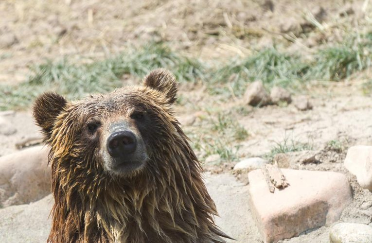Lummis pushes bill to let states regulate grizzly populations after Haaland flubbed bear question in hearing