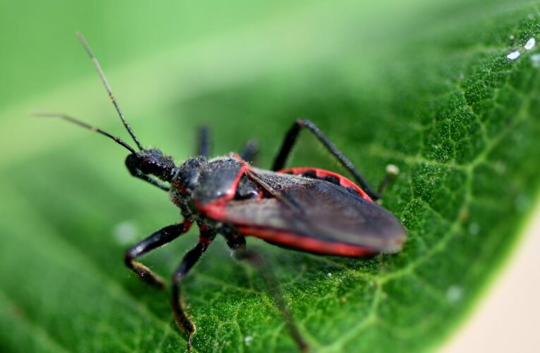 300K Americans may live with a chronic, deadly disease transmitted by the 'kissing bug.' What is Chagas and why are doctors missing it?