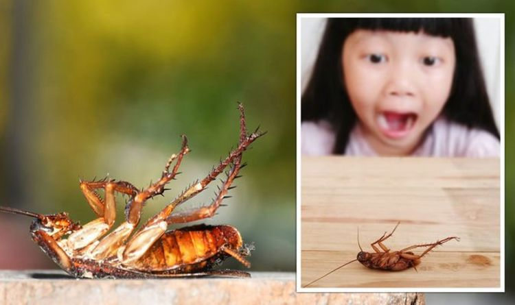 Cockroach UK invasion: Pests enter homes as temperature drops – how to avoid infestation