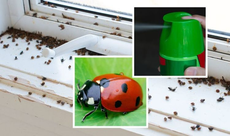 Lots of ladybirds in your house? How to get rid of ladybird infestation in 6 simple steps